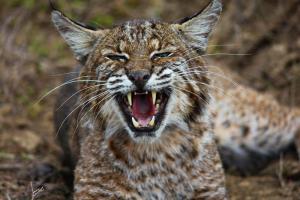 Jeff Dunlap - Trench Set - Bobcat.