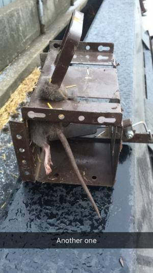 Another barn rat caught with the Rodent Tank.