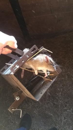 Barn Rat caught with the Rodent Tank.