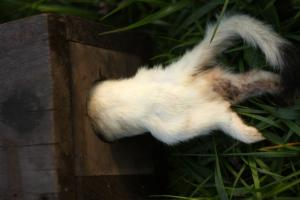 Crawford - Weasel Trapping - by J.W. Crawford