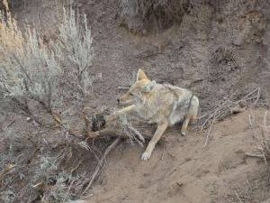 Andy Weiser - Coyote.