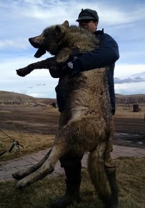 Wolf - Chase Krone, MT