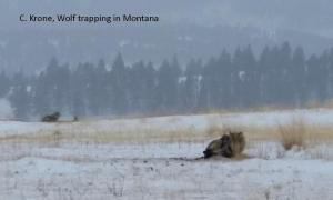 Wolf Trapping - C. Krone, MT