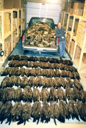 Gerald Schmitt - Season Catch of 764 Mink and 560 Raccoon in 1998.